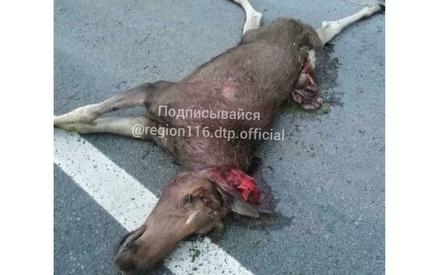 «В этом году очень много животных на дорогу выбегает»: в Татарстане снова сбили лося