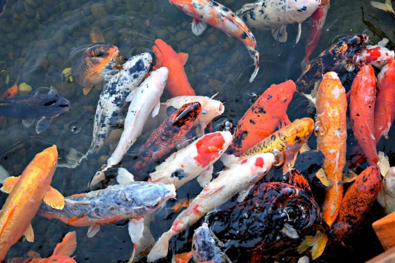 НСА: Агростраховщики отмечают повышенный интерес рыбоводов к страховой защите аквакультуры