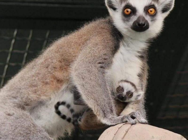 В семействе лемуров Казанского зооботсада появился малыш