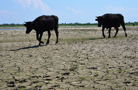 Корма съела засуха: молоку грозит подорожание