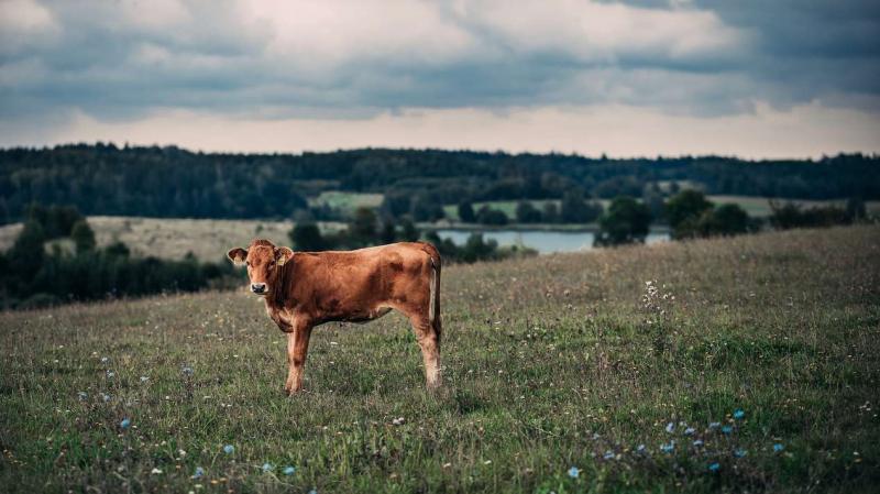 Президент НСА Корней Биждов: в России существенно вырос спрос на страховую защиту сельхозживотных