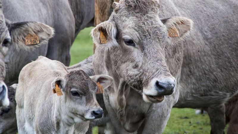 АО СК «РСХБ-Страхование» застраховало с государственной поддержкой сельскохозяйственных животных